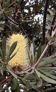 <i>Banksia integrifolia</i> A tree in the family Proteaceae that grows along the east coast of Australia