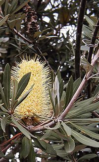 B integrifolia integrifolia1