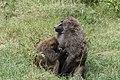 Baboon with cub (7513539946).jpg