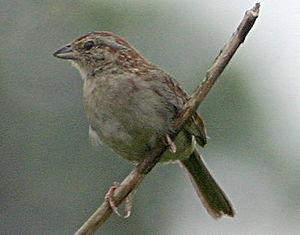 Bachman's sparrow - Image: Bachmanssparrow