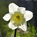 Backlit Daffodil (4530203747).jpg