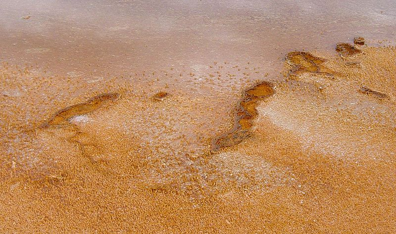 Fichier:Bacteria mats near Grand Prismatic Spring in Yellowstone.JPG