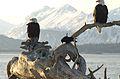 Bald Eagle Alaska (18).jpg