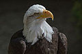 Bald eagle at the Hawk Conservancy Trust 2.jpg