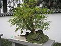 Bamboo bonsai Chengdu.jpg