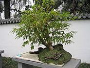 Bamboo bonsai Chengdu