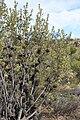 Banksia ornata (32623067196).jpg