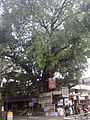 Banyan Tree @ Kodaly Junction.jpg