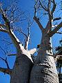 Baobab twins.jpg