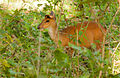 Barking deer by N A Nazeer.jpg