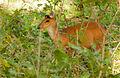 Barking deer by N A Nazeer.jpg