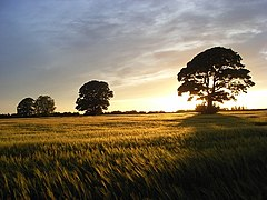 Barley and trees, Rockcliffe - geograph.org.uk - 827526.jpg