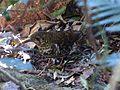 Bassian Thrush. Zoothera lunulata (15618486918).jpg