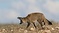 Bat-eared fox, Otocyon megalotis, at Kgalagadi Transfrontier Park, Northern Cape, South Africa (34905056651).jpg