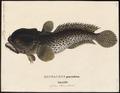 Batrachus didactylus - 1700-1880 - Print - Iconographia Zoologica - Special Collections University of Amsterdam - UBA01 IZ13600177.tif
