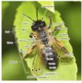 Bau einer Biene.tif