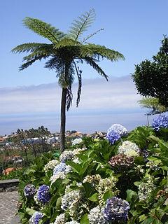 Baumfarn auf Madeira