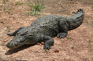 West African crocodile species of reptile