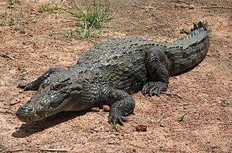 West African crocodile - Specimen in Bazoulé, Burkina Faso