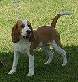 Beagle red & white 2.jpg