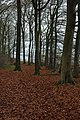 Beech trees on The Peak - geograph.org.uk - 623897.jpg