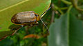 Beetle dorsal (16963996829).jpg