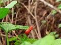 Beetle on a plant in monsoon.jpg