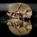 Beetle on glass, U, face, 2013-01-09-14.35.28 ZS PMax (8366799643).jpg