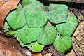 Begonia Tagbanua 4 - Raab Bustamante.jpg
