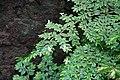 Begonia foliosa var miniata 01.jpg