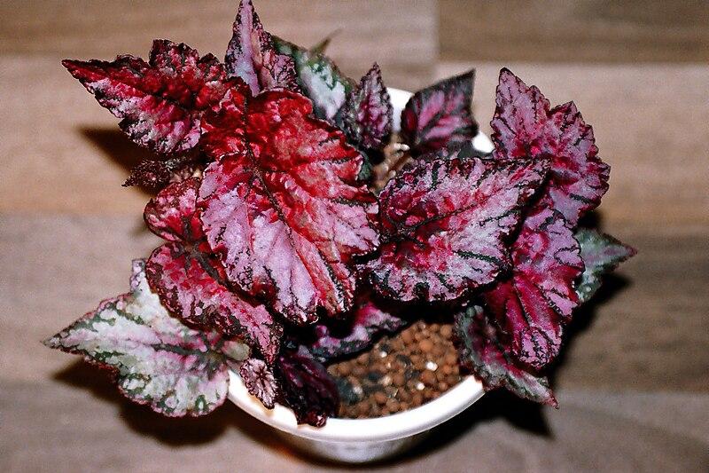 especial de plantas de hojas rojas alicante forestal
