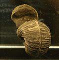 Bellerophon umbilicalis.jpg