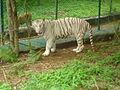 Bengali White Tiger at Bannerghatta.jpg
