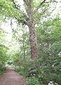 Benther Berg Vorland Baum umschlungen.JPG