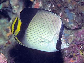 Indian vagabond butterflyfish species of fish