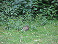 Berlin Magdeburger Platz rabbit in grass.jpg
