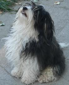 Dog Breed Havanese Poodle