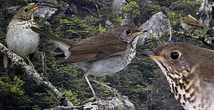 Bicknell's thrush - Image: Bicknells Thrush From The Crossley ID Guide Eastern Birds