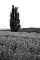 Biei landscape (7662408868).jpg