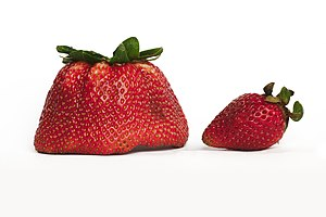 Breeding of strawberries - Strawberries may naturally vary greatly in attributes such as size.