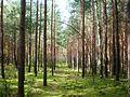 Bijotų miškas1.JPG