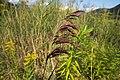 Biotopo inghiaie spiga2.jpg