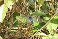 Bird Small Niltava 02.jpg