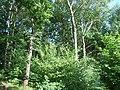 Birken-Eichenwald, Zwiesel 2.JPG