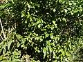Blachia andamanica subsp. denudata (8294429602).jpg