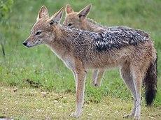 Black-backed Jackals (Canis mesomelas) under rain (12638228765).jpg