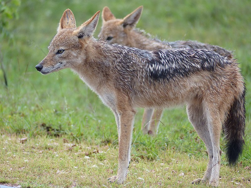 קובץ:Black-backed Jackals (Canis mesomelas) under rain (12638228765).jpg