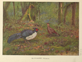 Black-backed Kaleege by George Edward Lodge.png