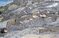 Black-bellied plover and dunlins at Jones Beach (03965).jpg