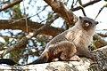 Black-tailed Marmoset (Callithrix melanura) male obviously ... (28485508852).jpg